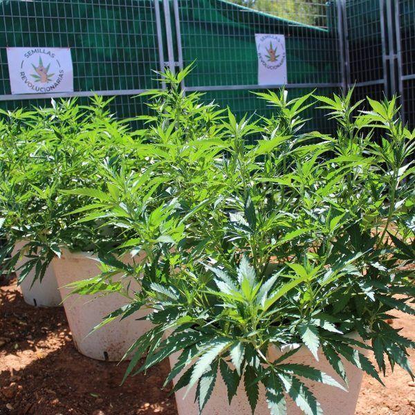 semillas marihuana feminizada Amable kush
