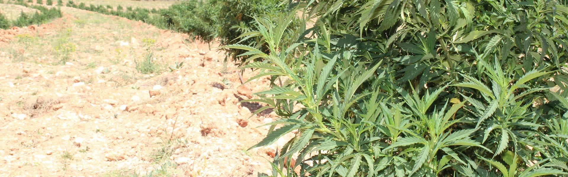 Noticias | Marihuana | Cannabis | Semillas Revolucionarias