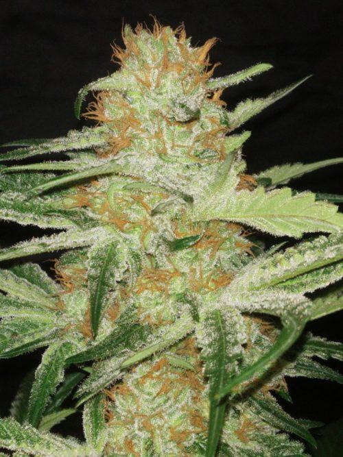 Semillas de marihuana Amable Kush fenotipo Og kushpiracion
