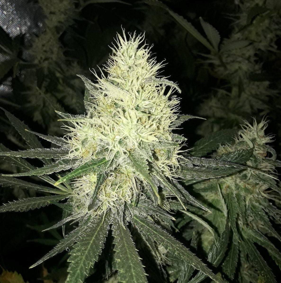 Variedad semilla marihuana Amnesia Vanila Fast Version
