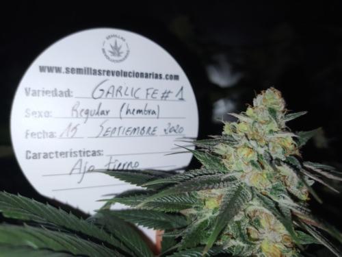 Semillas de marihuana Garlic FE # 1