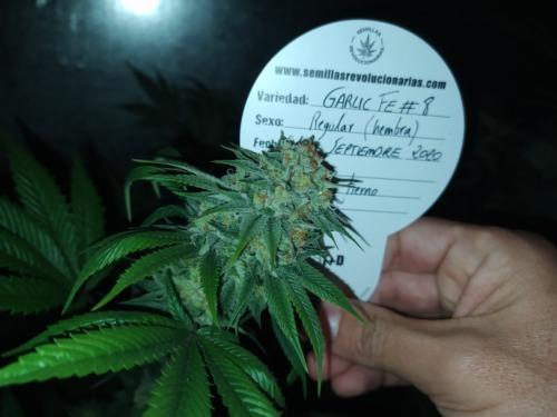 Semillas de marihuana Garlic FE # 8