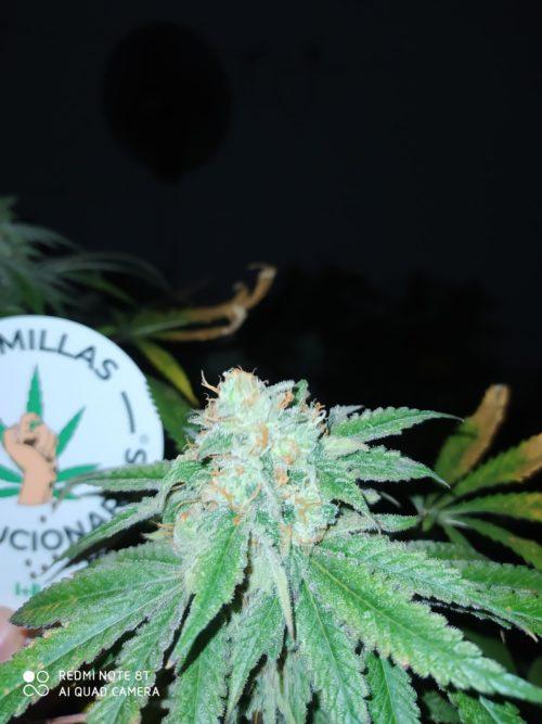Semillas de marihuana Auto Critical F5