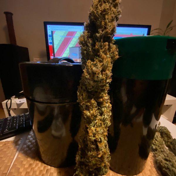 Semillas de marihuana Moby medicinal Kush