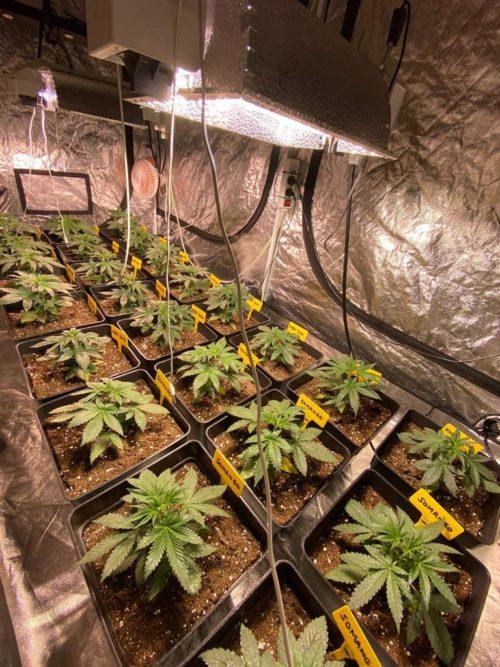 Semillas de marihuana Somango 2003 floración corta